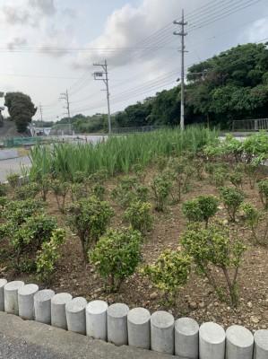 平敷草刈り2